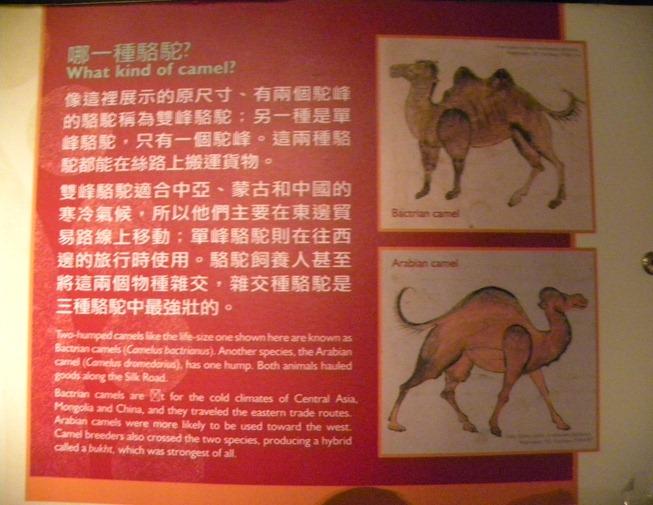 67單雙峰駱駝